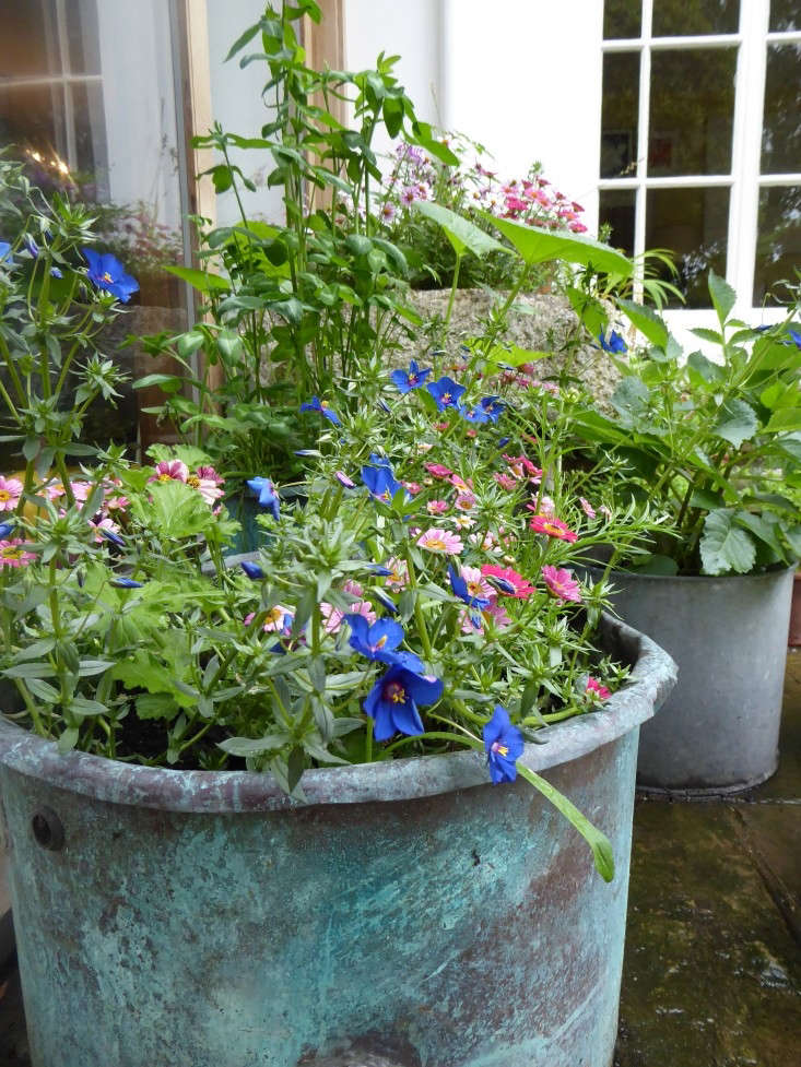 In south London, the writer Daisy Garnett fills copper pots with a classic Sarah Raven mix of Anagallis monellii 'Skylover',Argyranthemum&#8