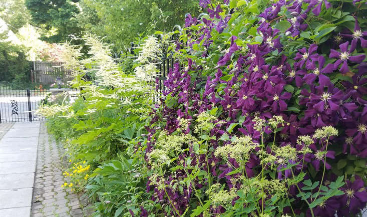 driveway_garden_fence_purple_clematis-vines_buffalo_marieviljoen_gardenista