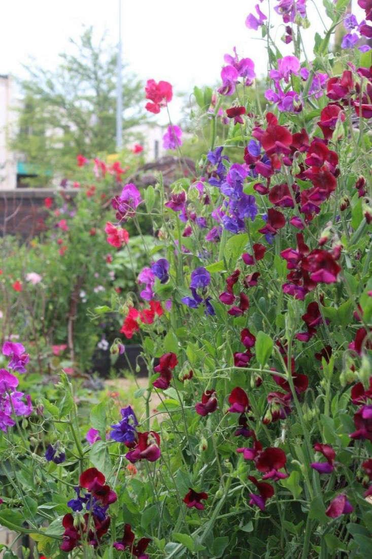 emma-bridgewater-arthur-parkinson-birch-arbors-trellises-sweet-peas-gardenista