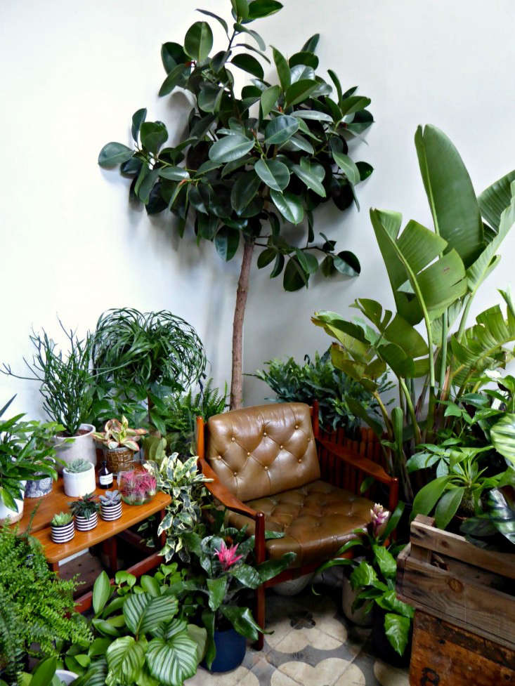 fiddle-leaf-fig-tree-conservatory-archives-london-gardenista