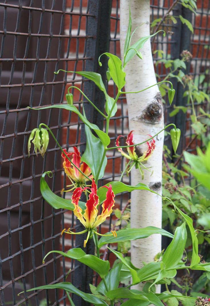 gloriosa on a hog wire fence in brooklyn by marie viljoen