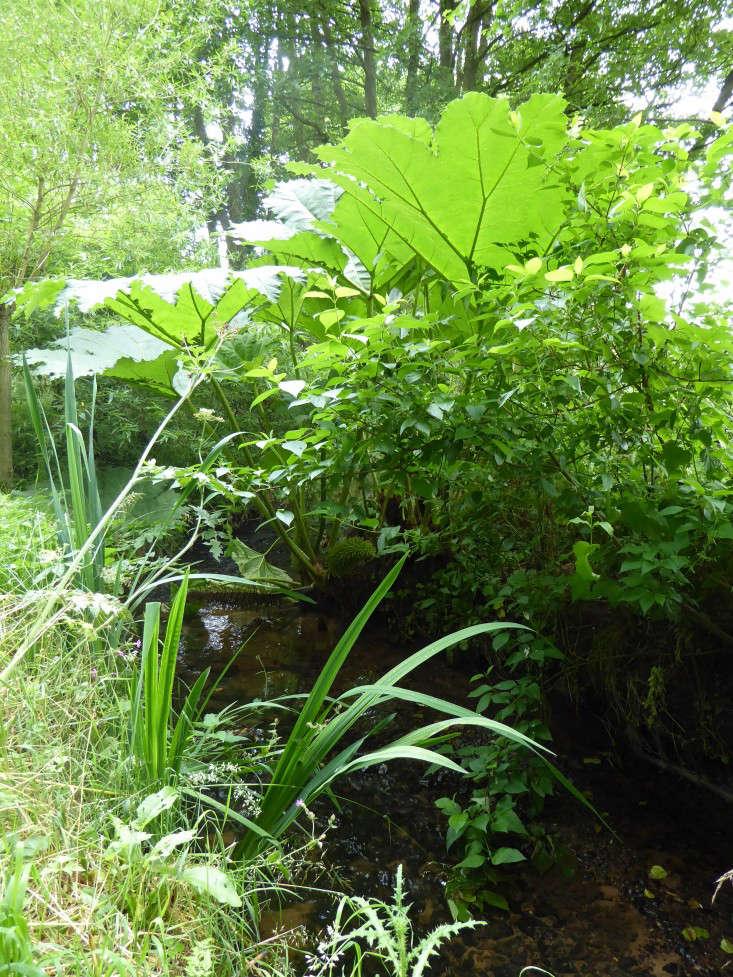 gunnera-sally-french-garden-gardenista