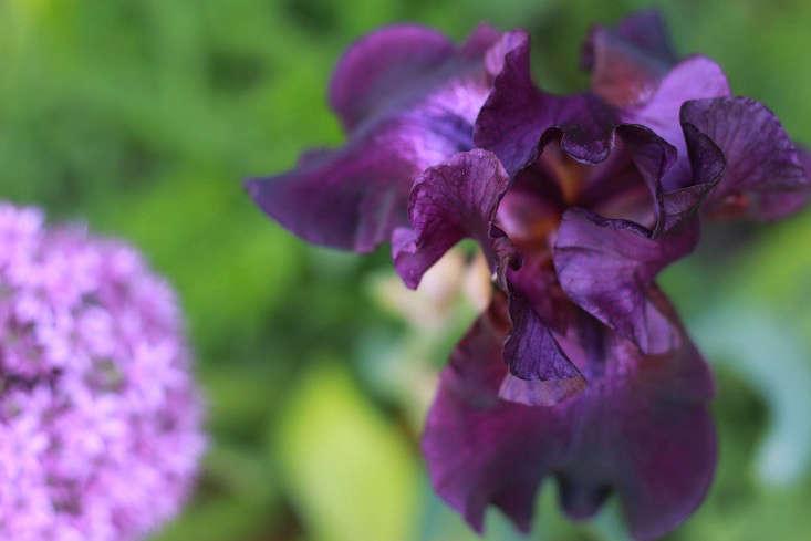 iris_purple_marieviljoen_gardenista