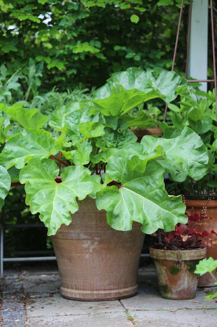mette-krull-rhubarb-gardenista