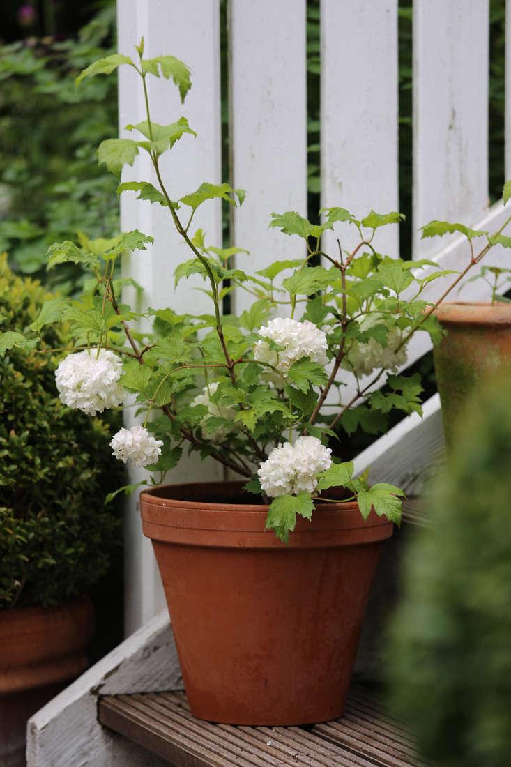 mette-krull-viburnum-gardenista