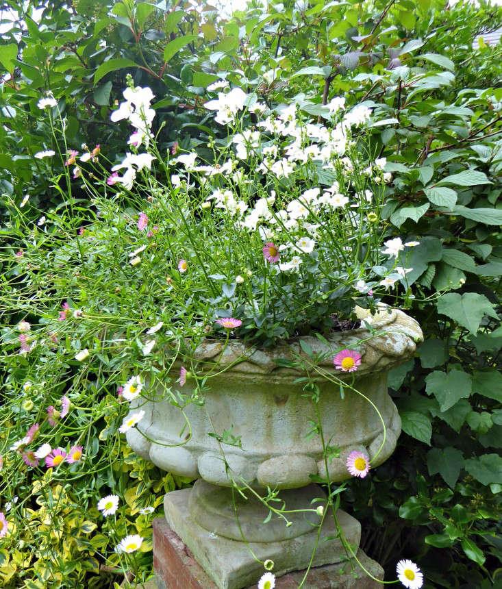 mexican-fleabane-nemesia-sally-french-gardenista