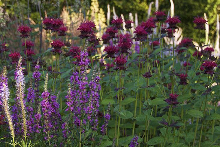 monarda-petra-garden-gardenista