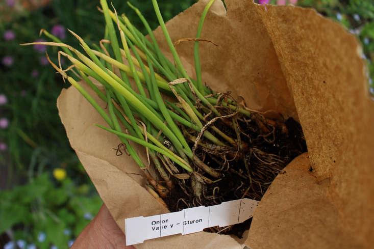 rocket-gardens-onion-sturon-gardenista
