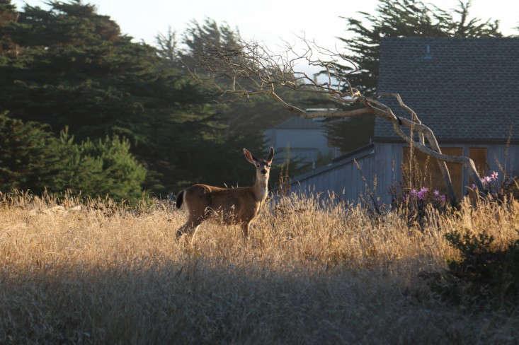 sea-ranch-grasses-deer-meredith-swinehart-gardenista