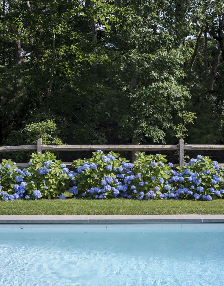 Justine has previously lamented the popularity of hydrangea on her native Cape Cod (they feel &#8\2\20;too cultivated, too precious,&#8\2\2\1; she wrote; see Bouquet of the Week: Hydrangeas Gone Wild). It&#8\2\17;s no different along Maine&#8\2\17;s seacoast: Billowy blooms are everywhere, along fences and against houses. But perhaps it&#8\2\17;s the hardy, informal, weather-beaten elements of Maine that keep the flowers from looking too prissy. Photograph by Matthew Williams fromSwimming Pool of the Week: Dreaming in Blue at a Stylist's Hamptons Compound; seeGardening \10\1: Hydrangea MacrophyllaandEverything You Need to Know About Hydrangeasfor much more.