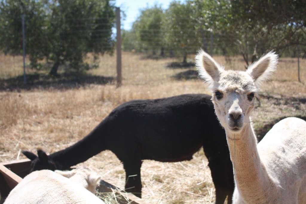 Alpacas Spring Coyote for Gardenista by Sylvia Linsteadt