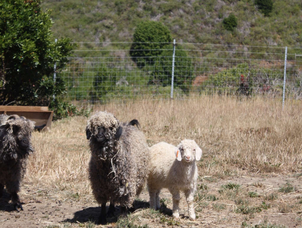 Angora Goats Spring Coyote for Gardenista by Sylvia Linsteadt