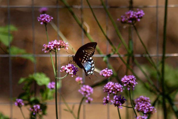 Concord Garden, butterfly, Gardenista