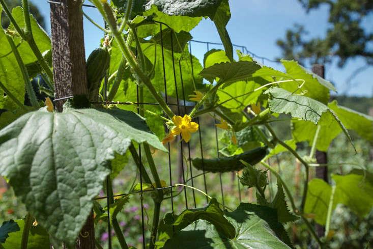 Concord Garden cucumbers, Gardenista