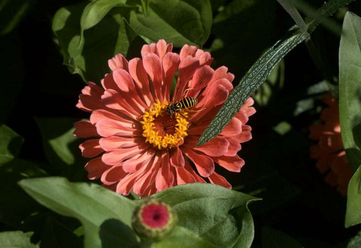 Zinnias are great for monarchs and other pollinators, including bees. Photograph by Justine Hand, fromFamily Matters: Restoring a Historic Landscape in Concord, MA.