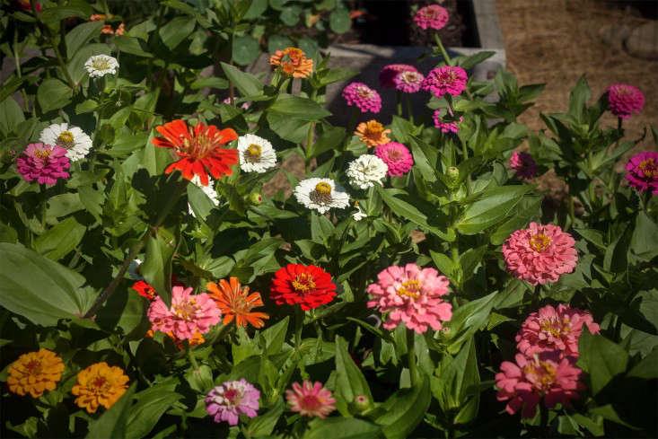 Concord Garden, zinnias, Gardenista