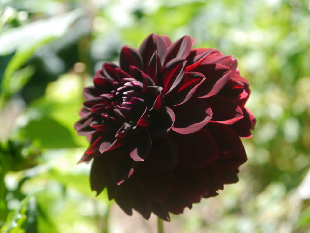 Dark red dahlia Honey Grove for Gardenista by Sylvia Linsteadt