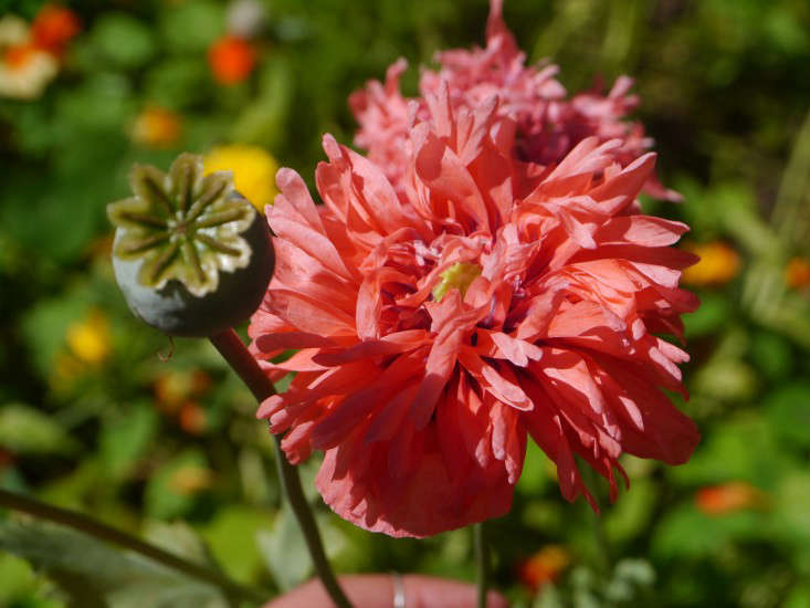 Pink Poppy Honey Grove for Gardenista by Sylvia Linsteadt