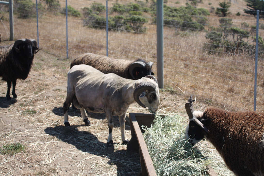 Rams at Spring Coyote Ranch by Sylvia Linsteadt