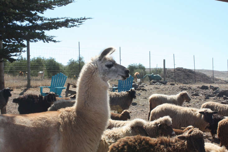 In coyote country, a guardian llama can keep a flock of sheep safe from attack. Photograph by Sylvia Linsteadt.