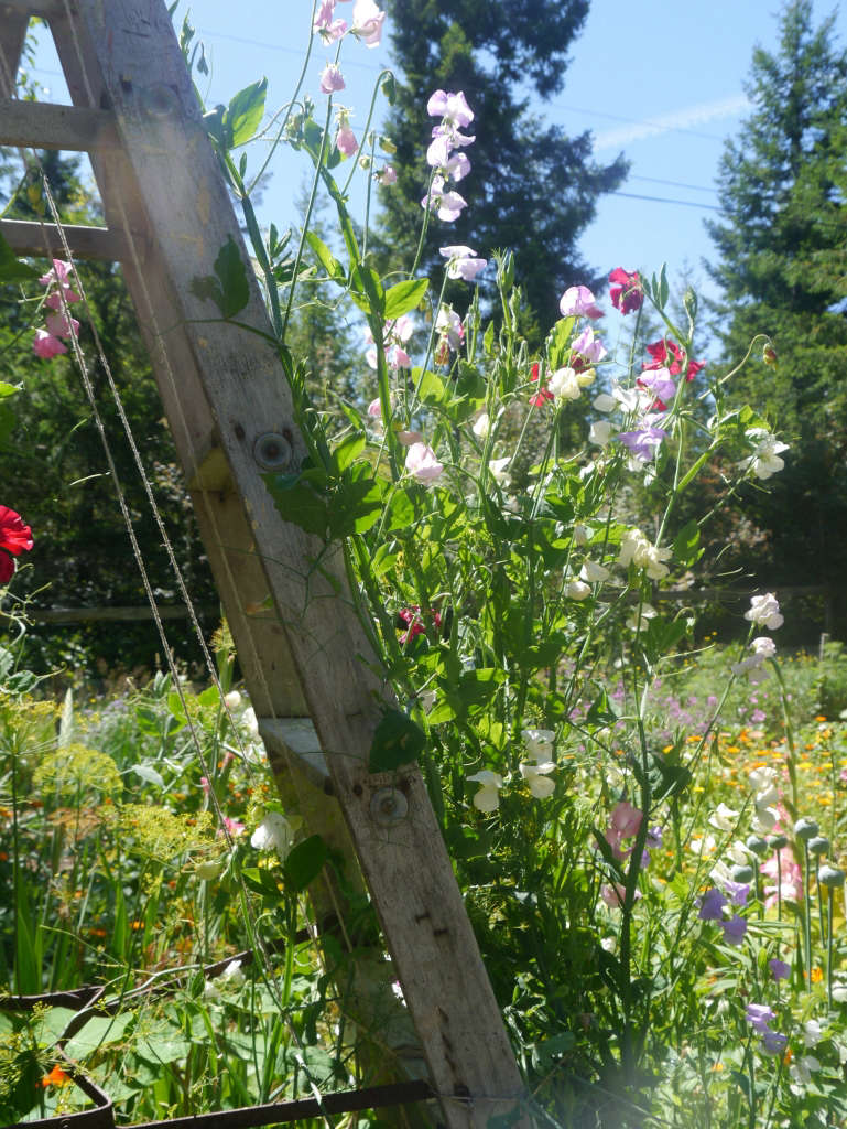 Sweet Pea Ladder Honey Grove for Gardenista by Sylvia Linsteadt
