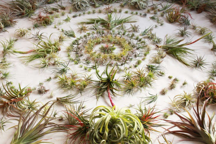 airplants-tillandsia-solabee-flowers-gardenista