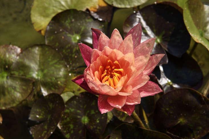 barliswedlick-lily-pad-gardenista