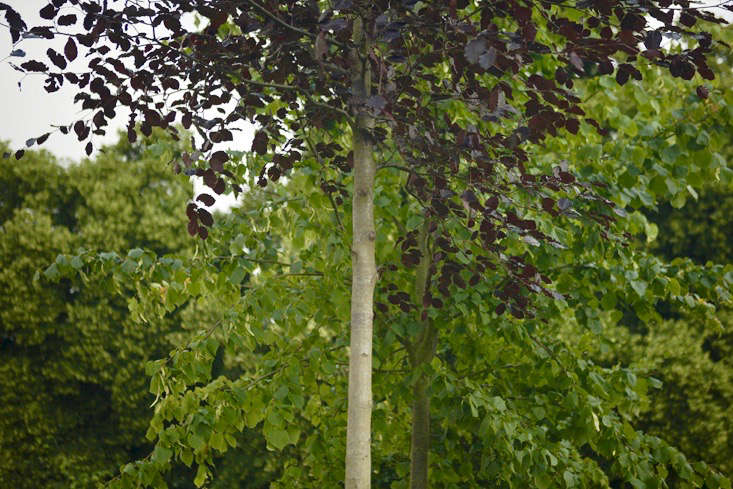 copper beech and lime or linden tree