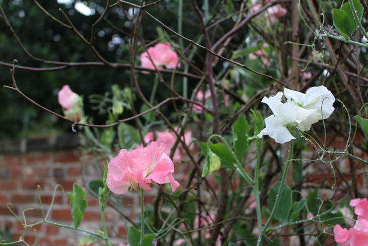 charlotte-fidler-sweetpeas-2-gardenista