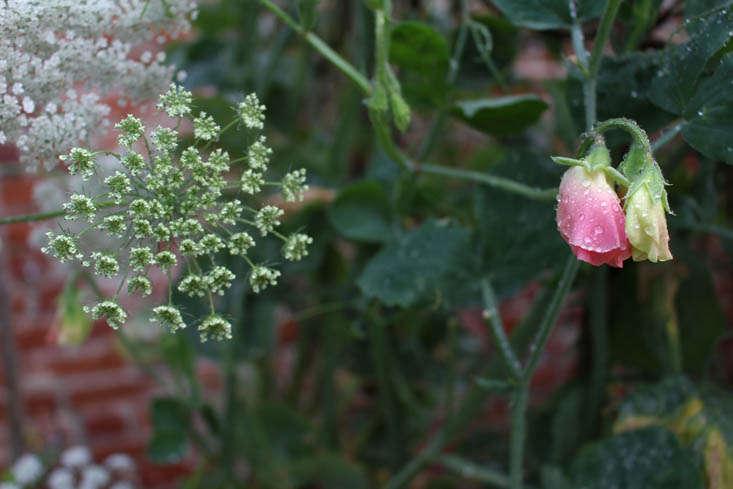 charlotte-fidler-sweetpeas-6-gardenista