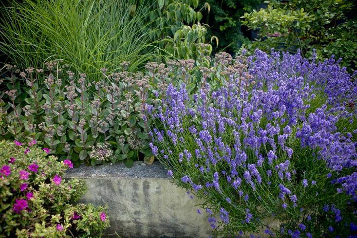 From left, cistus, sedum and lavender are all drought-tolerant.