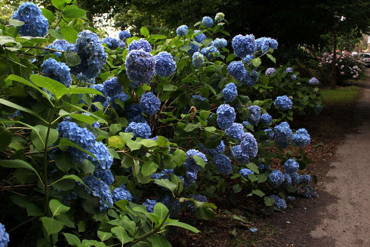 There is no blanket rule when it comes when to prune hydrangeas. Some should be pruned in the summer, after the plant has finished blooming, others in late winter/early spring.Photograph byKendra Wilson, fromLandscaping loading=