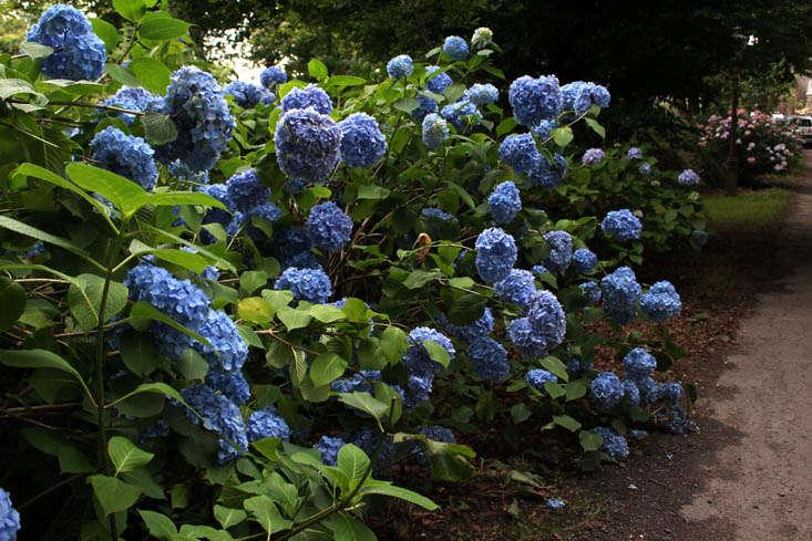 cornwall-hydrangeas-blue-2-gardenista