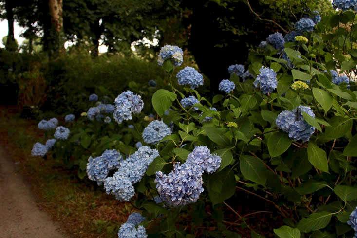 cornwall-hydrangeas-blue-lighter-gardenista (1)