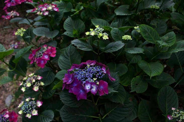 cornwall-hydrangeas-mix-lighter-gardenista (1)