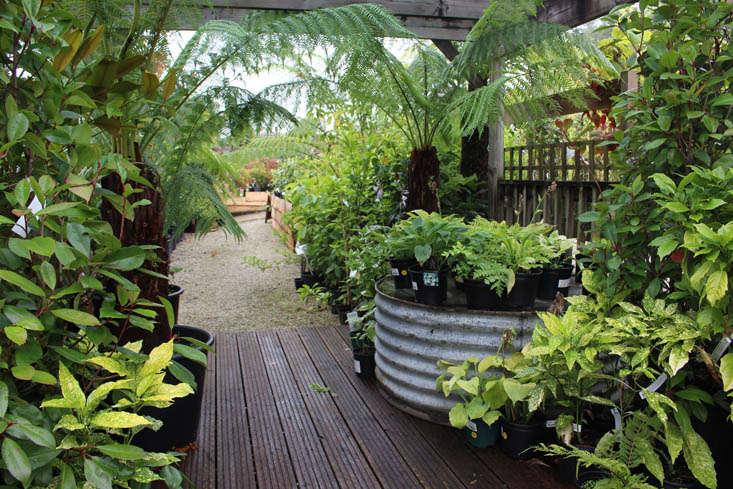 duchy-nursery-tree-ferns-gardenista