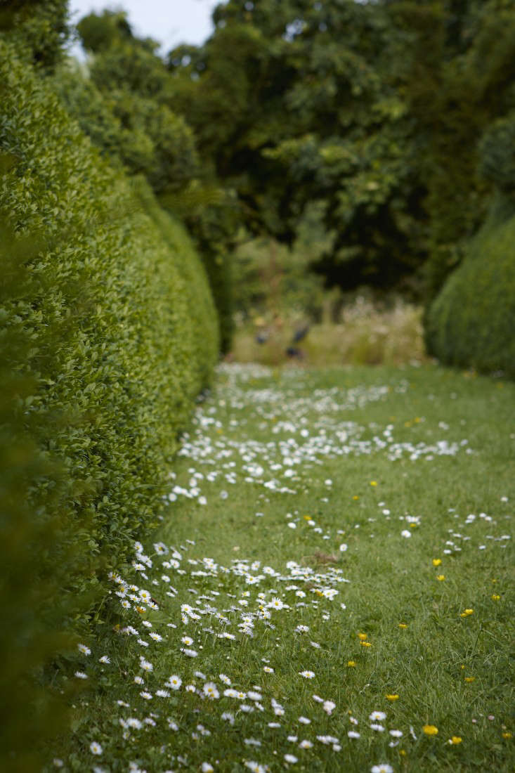 An English boxwood hedge edges a mown path in which daisies thrive. Photograph by Britt Willoughby Dyer.