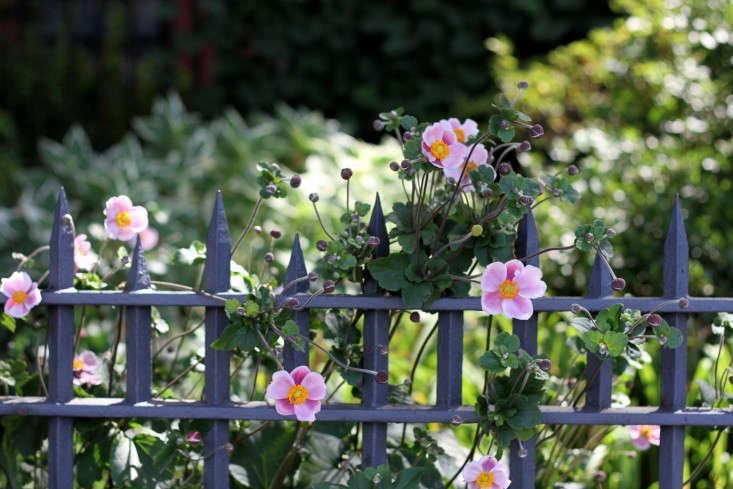 fence-with-japanese-anemone_erinboyle_gardenista_1