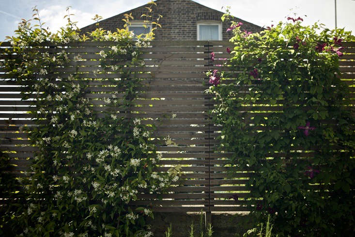 Neat trellising supports neat yet floriferous climbers, Trachelospermum jasminoides and Clematis &#8