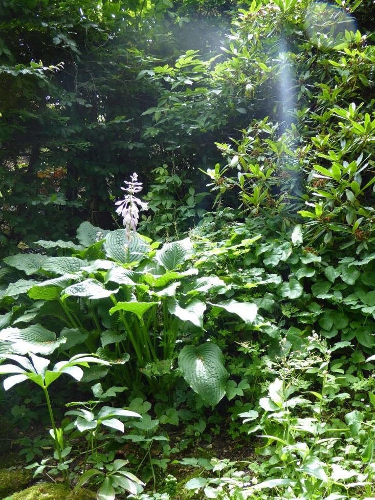 hostas-hellebores-sally-french-gardenista