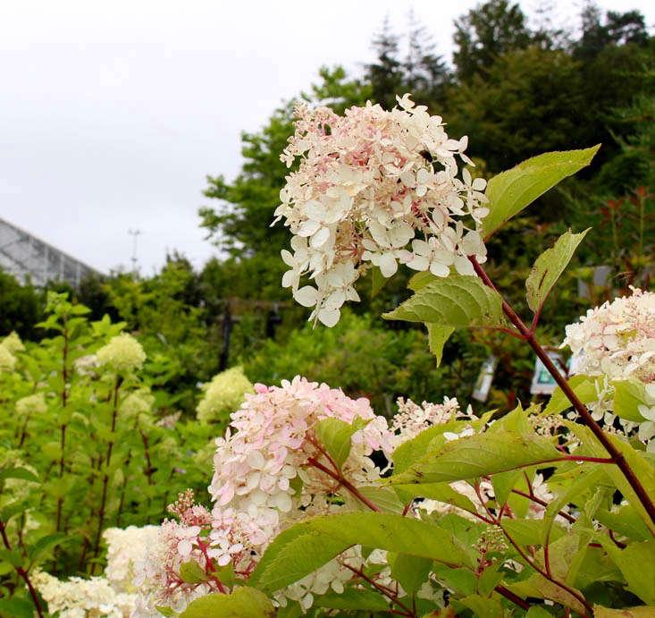 hydrangea-paniculata-sundae-fraise-gardenista (1)