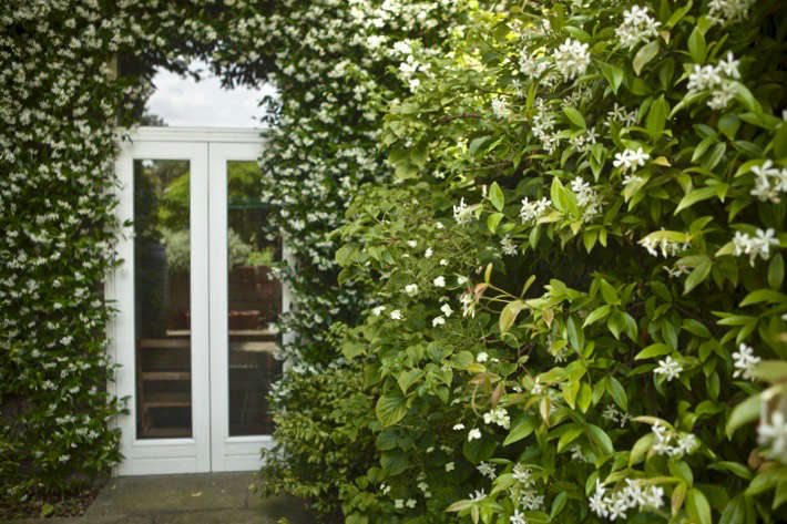 The side passage, with scented walls of well-pruned Trachelospermum jasminoides.
