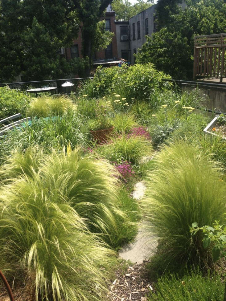 Mexicanfeather grass in its lush green stage, before it turns golden. Designer Marni Majorelle of Alive Structures chose it for a townhouse rooftop project in Brooklyn&#8\2\17;s Fort Greene neighborhood. For more on this project, see Brooklyn Oasis: A City Roof Garden, Before & After.Photograph by Marni Majorelle.