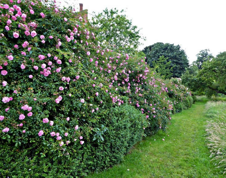 To cover a massive bank of excavated soil from a pondthat runs in between the house at Tattenhall Hall and formal gardens and the meadow, a layer of weed-suppressing membrane was smothered with rambling roses— possibly 'Flowering Carpet'.