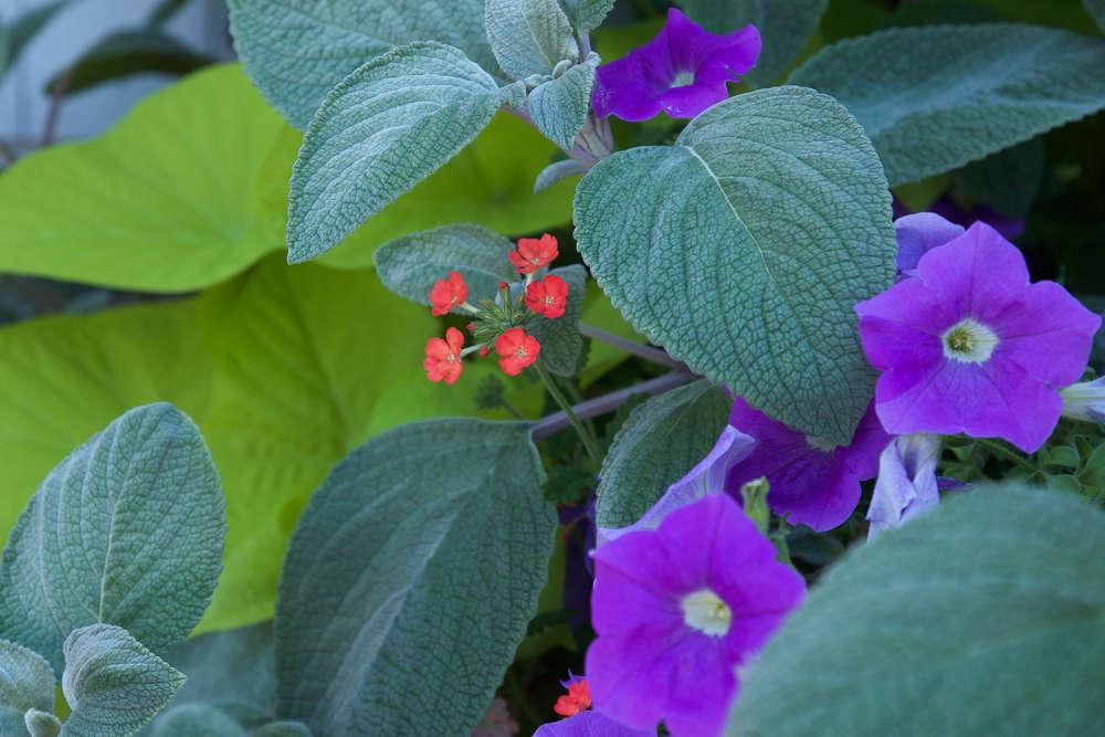 Grandma&#8\2\17;s favorite hues, updated! Purple petunias (&#8\2\16;Sky Blue&#8\2\17;) and coral verbena look fresh against hot and cool greens.