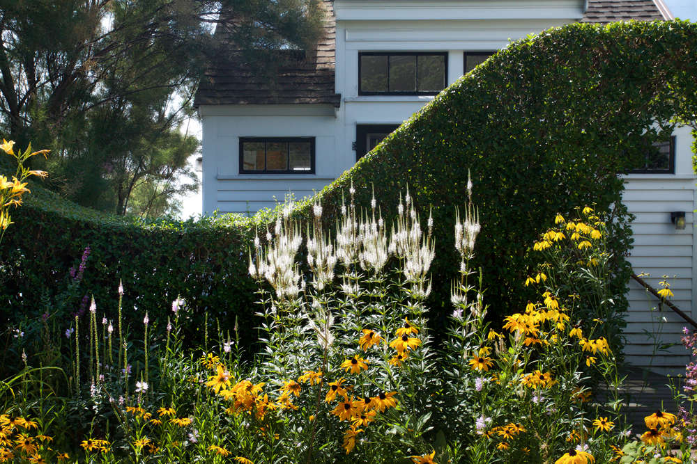 In this home for one of his East End clients, Tim created a permeable barrier between the studio and the main house and yard, by shaping a privet into a graceful curve and arch. The undulating hedge not only forms a dynamic backdrop for a vibrant bunch of native Rudbeckia hirta (black-eyed Susans) and white Veronicastrum Alba, it also creates a sense of flow between the two structures.
