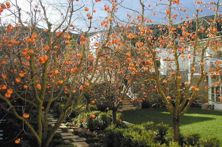 Persimmon allee by Scott Lewis Landscape Architecture.
