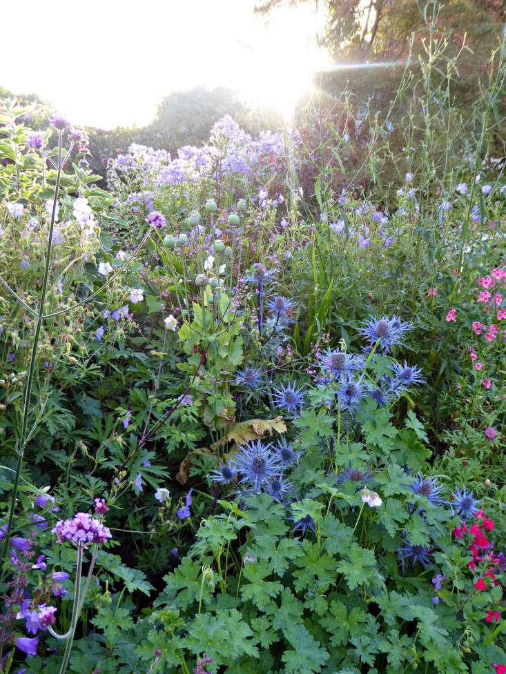 Tattenhall-eryngiums-alliums-gardenista