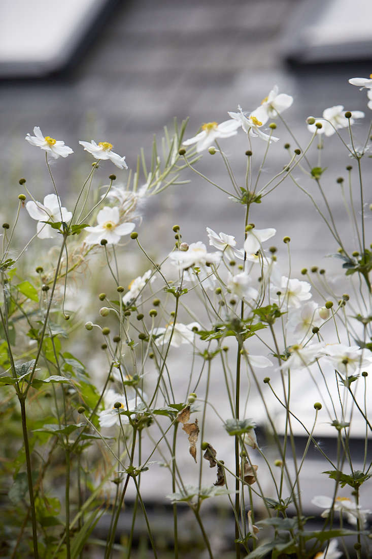 Today theplant has been re-named Anemone hupehensis, or Chinese anemone. It is a native of Hupeh province in eastern China. The Victorian plant hunter Robert Fortune discovered it growing in a cemetery in Shanghai and introduced it inEurope in 44.