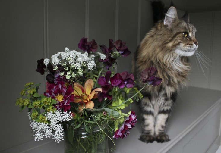 charlotte fidler sweetpeas-cat-Gardenista